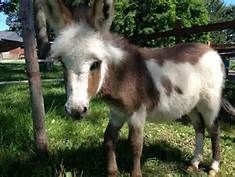 Miniature Donkeys make the BEST pets~ life companions for the whole family~ <3