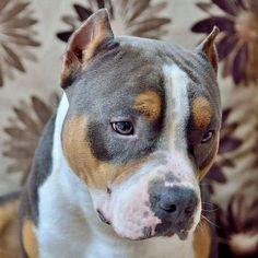 Dog américain Couleurs parfaite ❤️