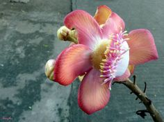 """Scientific Name-Couroupita guianensis    Other Names- Ayahuma    Family- Lecythidaceae    Cannonball Tree, is an evergreen, rare tree. It grows up to 25 m (82 ft) in height. The """"Cannonball Tree"""" is so called because of its brown cannon-ball-like fruits. T http://biocurmin.blogspot.com/2013/03/tac-dung-cua-nghe-trong-dieu-tri-viem-hang-vi-da-day.html"""