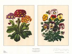 Pansy and Primrose Posters by A. J. Wendel at AllPosters.com