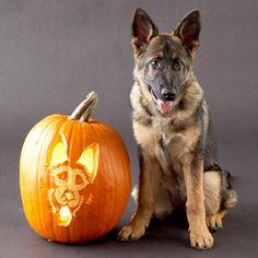 german shephard halloween pumpkin carving