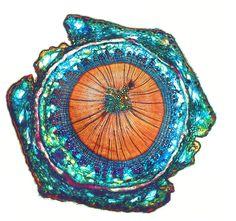 Thuja, Stengelquerschnitt, Schnittstärke zwischen 30µm - 50µm, Färbung nach Etzold mit Etzold-blau, by Peter Höbel