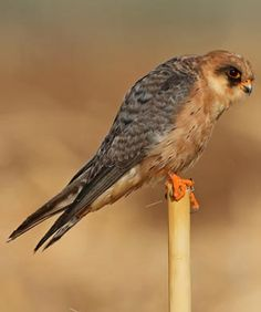 Falco vespertinus (Red-footed falcon, Western red-footed kestrel)         female
