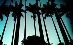Emperor's Palms