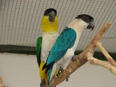 Blue Caique Mutation... If i could afford one I would have one! <3