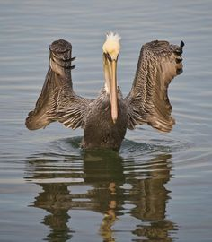Pelican doing his hair