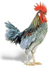 The Blue Hen of Delaware is a variety of chicken that was adopted on April as the state bird of Delaware. The University of Delaware mascot, known as YoUDee, is also modeled after the bird. Delaware Blue Hens, Delaware State, Peach Blossom Tree, Hen Chicken, History For Kids, State Birds, Puppy Face, Chicken Breeds, Coq