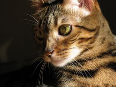 Cat by Adam's Photo graphs, via Flickr