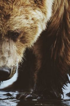 wolverxne:  Grizzly Close up | by: {Brice Petit}