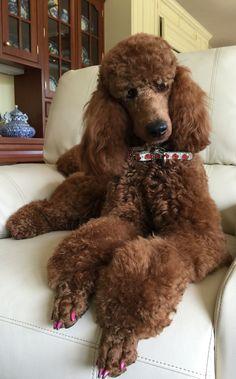 Red standard poodle Sophia