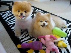 Boo & Buddy #pomeranians