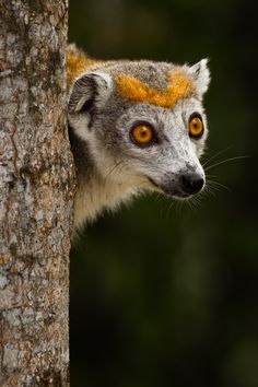 Holy cow! Upon finding this whelst scrolling my heart skipped ten beats... freaky animal! Crowned Lemur in Madagascar.