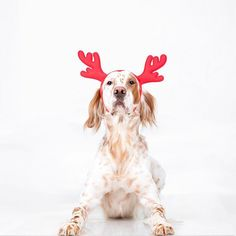 """Santa's newest reindeer ready for duty!"" writes @engelsksetter com #dogsofinstagram #animals #instagood #cute"