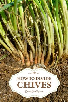 See how to divide chives. Chives grow in clusters of bulbets that are close to the soil line. Dividing these clusters every few years keep the plants healthy.