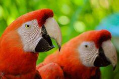 Descargar  Imágenes gratis de  Pareja de guacamayos de perfil
