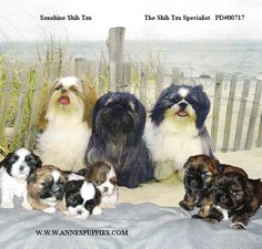 Annes Shih Tzu Puppies - Syracuse Breeder