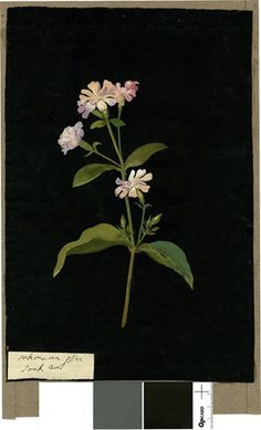 Saponaria Officinalis (Decandria Digynia), from an album (Vol.VIII, 67); Soapwort. 1776 Collage of coloured papers, with bodycolour and watercolour, on black ink background