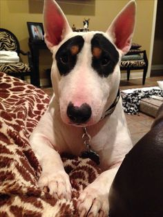 Eleanor the #Bullterrier with sweet markings--really, beautiful markings!  love those little eyebrows
