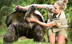 Una cuidadora unge de aceite el caparazón de Little John, la tortuga gigante que acaba de cumplir 100 años de edad en el zoológico de Melbourne, Australia (Rex, 2015)