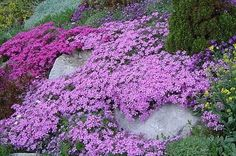 Moss, or Creeping Phlox  A ground cover that remains semi evergreen, this plant spreads to 2 feet and is covered with very bright pink, blue, purple or white flowers in April. Phlox demand well drained soil, or it will be very short lived… Makes quite a show! Hardy to Zone 3, needs full sun. Shear after flowering by one third.