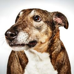 Angel the shepherd mix available for adoption from the Humane Society of New York. #dogs #rescuedogs #adpotdontshop #NYC #adoptabledogs