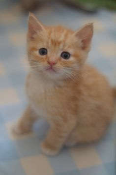 There's a Tiny Orange Tiger in The Lamm Family! Kittens Cutest Baby, Kittens And Puppies, Cute Cats And Kittens, Baby Cats, I Love Cats, Kittens Playing, Tier Fotos, Here Kitty Kitty, Cute Funny Animals