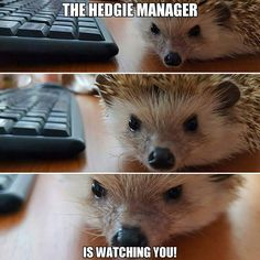 #Creepy #workday #pettowork #hedgehog #manager
