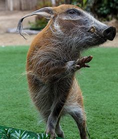 Rooty, a red river hog shows some attitude at the San Diego Zoo. Typically, these African pigs are nocturnal, but not at the Safari Park at the San Diego Zoo!