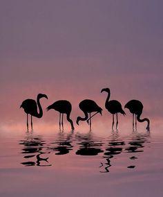 Flamingo silhouettes in a sunset Foto Flamingo, Flamingo Art, Animal Photography, Nature Photography, Flamingo Pictures, Tier Fotos, Big Bird, Great Pictures, Bird Art