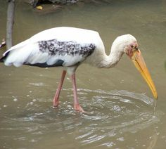 Milky stork,Mycteria cinerea