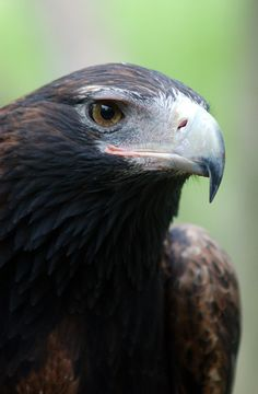 Wedge-Tailed Eagle (Australia)Ian Turner