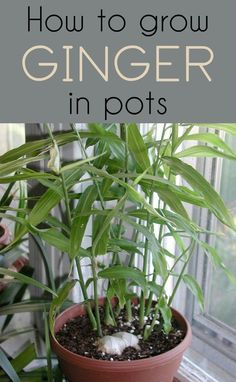 Growing Ginger Indoors, Growing Plants, Grow Ginger From Root, Fresh Ginger, Garden Plants, Indoor Plants, Shade Garden, Plants In Pots, Garden Beds