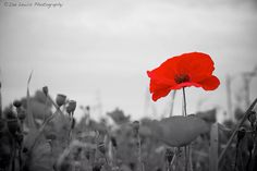 Remembrance Day We wear a poppy On Remembrance Day, And at eleven We stand and pray. Wreaths are put Upon a grave. As we remember Our soldiers brave. Lest We Forget, Remembrance Day, We Remember, Great Love, Poppies, Dandelion, This Is Us, Rose, Flowers