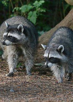 Raccoons by Fraida Gutovich
