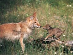 Mommy and baby coyotes! #cute #wildlife #mommyandme #adorable