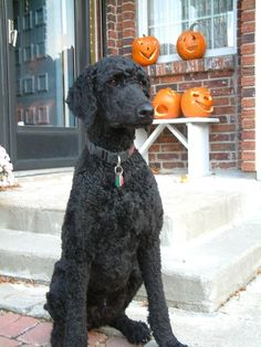 Looks like Winter.is coming! Dog Grooming Styles, Poodle Grooming, Black Labradoodle, Goldendoodle, Black Standard Poodle, Standard Poodles, Cute Puppies, Cute Dogs, Corgi Puppies