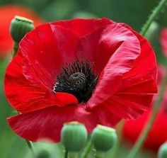 Happy Flowers, Flowers Nature, Red Flowers, Beautiful Flowers, Green Theme, Red Poppies, Flower Photos, Flower Art, Flower Power