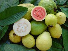 Guayaba [Psidium guajava L.] - Fruit