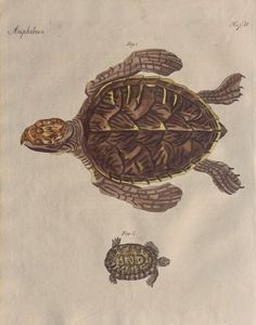 Copper engraving 1790-1810 by Bertuch. Handmade paper and colored by hand.  Natural history. Amphibian,Turtles,earth and sea turtles. Very good condition.(more than 220 years old). Published in Vienna from the Industries Comptoirs(1790-1810). Dimensions 9.9 x 7.8 inches or 25,5x20cm. Enclosed in the shipping explanatory page (Photo 5), in French and German. Other Bertuch prints in our shop: https://www.etsy.com/shop/CastafioreOldPrints?section_id=14435955  Not at cop...