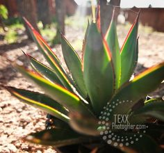 Blue Agave = Baby Tequila? ~ Chandra Achberger | photogher
