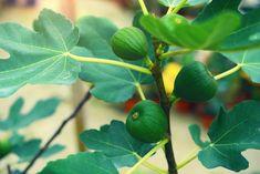Pěstování fíkovníku v květináči i na zahradě: Úrody se dočkáte brzy