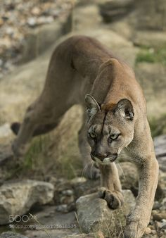 Mountain Lion - Taken at the WHF in Kent. : Mountain Lion - Taken at the WHF in Kent. Beautiful Cats, Animals Beautiful, Animals And Pets, Cute Animals, Gato Grande, Cat Reference, Puma Cat, Mountain Lion, Tier Fotos