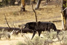 Wolf, Canyon Pack | Flickr - Photo Sharing!
