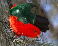 Australian King Parrot - E. Parakeets, Parrots, Bird Feathers, Beautiful Birds, Swans, Hummingbirds, Backyard, Outdoors, Australia