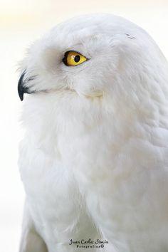 Snowy Owl - Golden eye (buho nival)