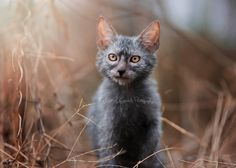 What is a Lykoi or Werewolf Cat? What is a Lykoi or Werewolf Cat? Rare Cat Breeds, Rare Cats, Cats And Kittens, Lykoi Cat, Werewolf Cat, Battersea Dogs, Cat Shedding, Unique Cats, Unique Animals
