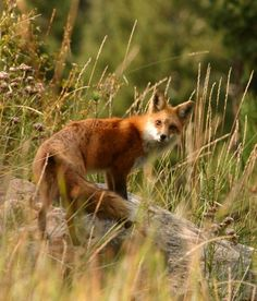 fox looking over it's shoulder | animal + wildlife photography