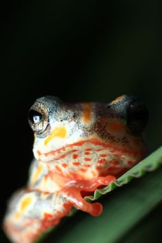 »✿❤Love Frogs!❤✿« A portrait of a Painted Reed Frog.