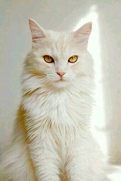 653db8f8033fa5 Beautiful Turkish Angora Cat - here is where you can find that Perfect Gift  for Friends and Family Members