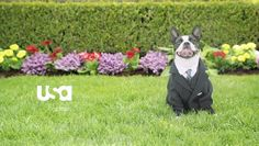 Custome SUIT for dog USA Network spot for Suits TV show